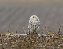 A Snowy Owl In A Late Winter Rain Stock Image
