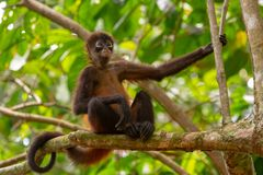 Free A Spider Monkey In The Jungle Canopy Stock Images - 162237984