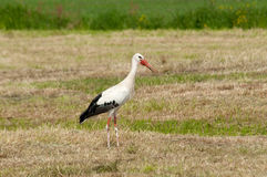 Free A Stork In The Field Royalty Free Stock Photos - 14948068