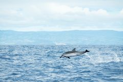 Free A Striped Dolphin Stenella Coeruleoalba Leaps Out Of The Water In The Atlantic Ocean Off The Coast Of Pico Island In The Azores Royalty Free Stock Photos - 162536378