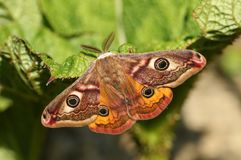 Free A Stunning Male Emperor Moth Saturnia Pavonia Perching On A Leaf. Royalty Free Stock Photography - 116446687