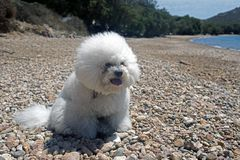 Free A Super Cute Bolognese Breed Dog Like A Toy At The Beach In Summer Time Stock Photos - 119913753
