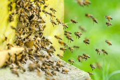 A Swarm Of Bees At The Entrance Of Beehive In Apiary Royalty Free Stock Images