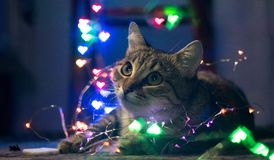 Free A Sweet Cat With A Christmas Garland. Christmas. New Year Royalty Free Stock Photos - 143068148