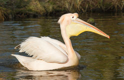 A Swimming Pelican Royalty Free Stock Photo