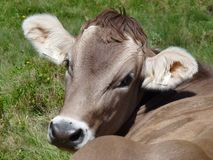 A Swiss Cow Stock Images