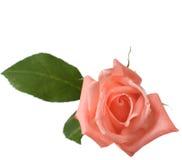 A Tender Rose Royalty Free Stock Photos