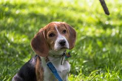 Free A Thoughtful Beagle Puppy With A Blue Leash On A Walk In A City Park. Portrait Of A Nice Puppy. Royalty Free Stock Image - 127783996