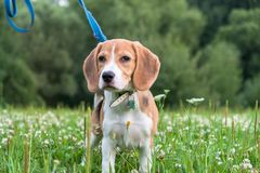 Free A Thoughtful Beagle Puppy With A Blue Leash On A Walk In A City Park. Portrait Of A Nice Puppy. Royalty Free Stock Image - 131617486