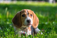 Free A Thoughtful Beagle Puppy With A Blue Leash On A Walk In A City Park. Portrait Of A Nice Puppy. Stock Photo - 131915850