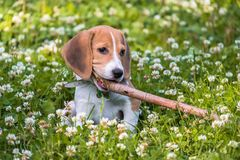 Free A Thoughtful Beagle Puppy With A Blue Leash On A Walk In A City Park. Portrait Of A Nice Puppy. Royalty Free Stock Photo - 131932385