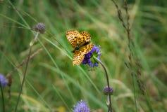 Free A Titania`s Fritillary Butterfly Boloria Titania Stock Image - 156848391