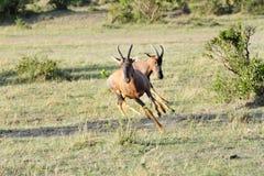 Free A Topi Antelope Bouncing Near A Bush Stock Photography - 38932632