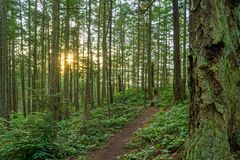 A Trail In A Lush Green Forest With Tall Pine Trees Stock Images