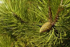 Free A Tree With Exceptionally Long, Decorative Needles And Impressive Cones. Pinus Nigra, The Austrian Pine Or Black Pine, Is A Spec Stock Photos - 125612893