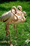 A Trio Of Flamingos Stock Photos