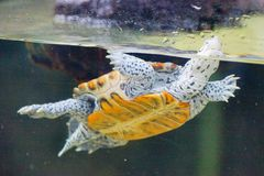 Free A Turtle Is Swiming Royalty Free Stock Photos - 100740328