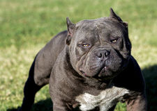 Free A Very Intense Pitbull Stock Images - 27017974