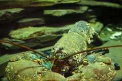 Free A Very Old And Very Rare Blue Lobster Underwater Royalty Free Stock Images - 191574349