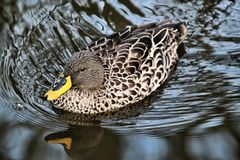 A View Of A Yellow Billed Duck Royalty Free Stock Image