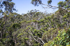 Free A View Of The Giant Trees In Tree Top Walk In Walpole Stock Photos - 50763813