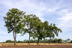 A View Of The Neem Tree Growing On The Mound Of The Rice Field Royalty Free Stock Image