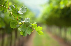 A Vine Branch On The Vine Rows Background Stock Images
