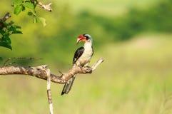 Free A Von Der Decken`s Hornbill Male Royalty Free Stock Images - 117463569