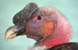 Free A Vulture Is A Bird Of Prey. 2 Types Of Vultures Royalty Free Stock Photos - 175806228