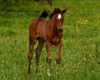 Free A Warm-blooded Foal Of Trotting Horse Stock Photos - 149419953