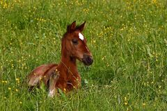 Free A Warm-blooded Foal Of Trotting Horse Stock Photo - 149419980