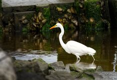 Free A White Egret Wading In A Tidal Pool Beside A Dock. Stock Image - 178898151