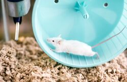 Free A White Pet Mouse With Red Eyes Running On An Exercise Wheel In Its Cage Stock Images - 187180774