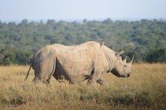 Free A White Rhinoceros Stock Image - 128902781