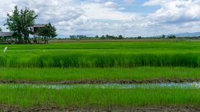 Free A Wide Famer Agriculture Land Of Rice Plantation Farm In  Planting Season, A Hut Beside Green Young Rice In Water Royalty Free Stock Photo - 161413405