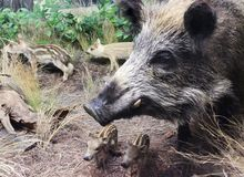 Free A Wild Boar Sow And Piglets, International Wildlife Museum, Tucs Stock Images - 110853574