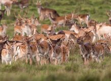 Free A Wild Deer Herd Roaming In The Grass Royalty Free Stock Photos - 183889658
