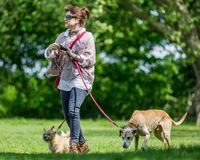 Free A Woman Walking Dog In The Park Getting Ready For The Dog Show On Hampstead Heath Stock Photos - 137407363