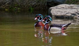 A Wood Duck Aix Sponsa Swimming On Ottawa River In Canada Stock Photo