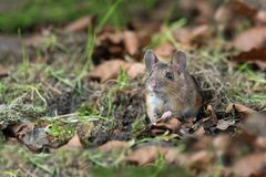 Free A Wood Mouse On The Forest Floor Stock Images - 114950854