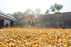 Free A Worker Spread Maize Crop For Drying Royalty Free Stock Image - 104151596