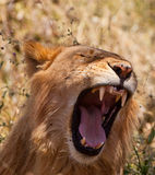 A Yawning African Lion Stock Image