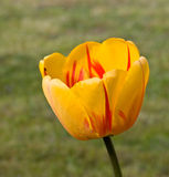A Yellow,big Tulip On The Meadow Royalty Free Stock Photos