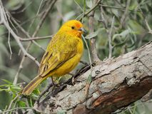Free A Yellow Canary On The Branches Royalty Free Stock Images - 214361679