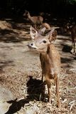 A Young Bawean Deer Waiting For Food Stock Photos
