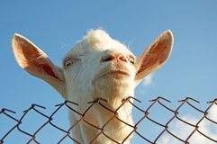 A Young Goat Stock Image