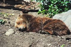 A Young Grizzly Bear Sleeping Stock Images