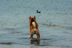 Free A Young Hunting Red Dog Of The Shiba Inu Breed Stands In The Water And Looks At A Swimming Duck Royalty Free Stock Photography - 159309277