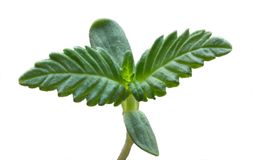 Free A Young Shoot Of A Marijuana Plant Isolated On White Royalty Free Stock Photos - 112779198