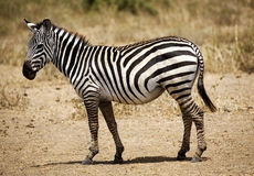 A Zebra Royalty Free Stock Images